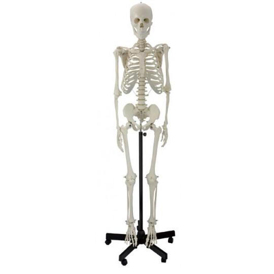 Esqueleto humano em pvc, tamanho real